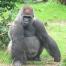 Thumbnail image for Wer sieht den Gorilla?